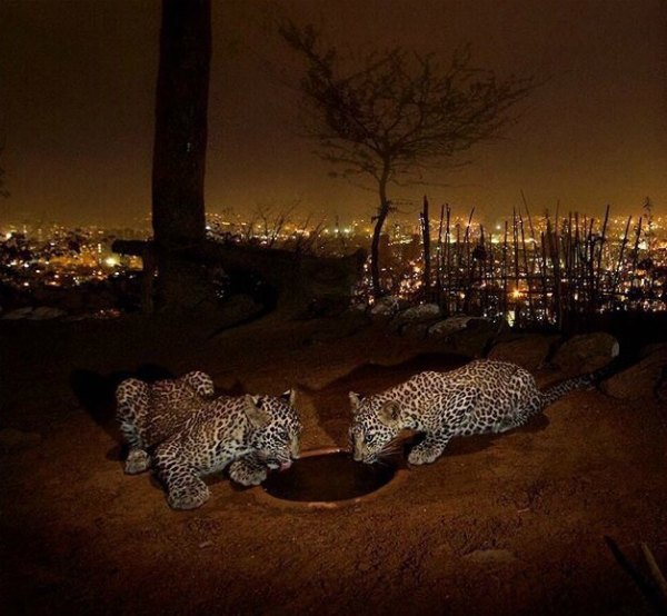 indian-leopards-facts-photos