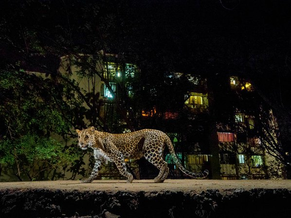 leopards-in-india-urban-areas