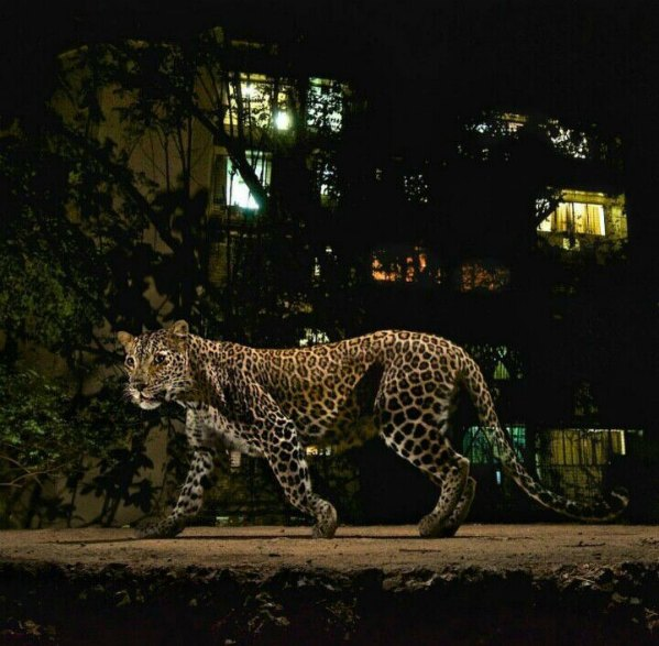 leopards-in-mulund-mumbai-india