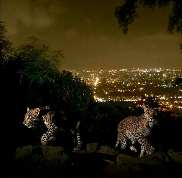 leopards-mumbai-photos-national-geographic
