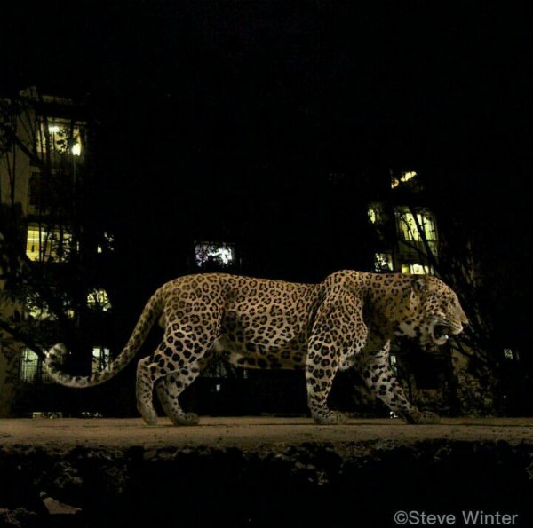 leopards-photos-mumbai-sanjay-gandhi-national-park
