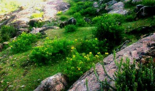 aaguli-anwal-medicinal-plant-of-rajasthan-