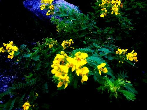 anwal-plant-flowers-aravalli-hills-flora