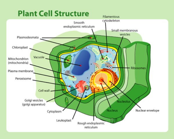 plant-cell-wall-diagram