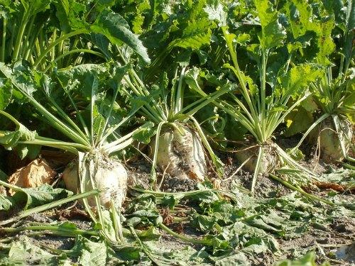 sugar-beet-plant