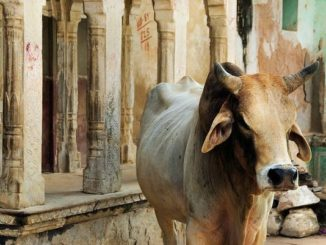 cow politics in india