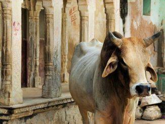 cow politics in india