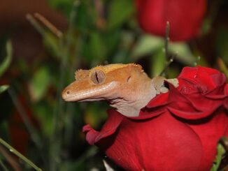 crested-gecko